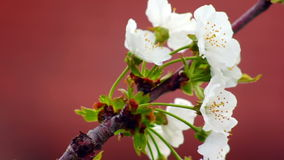 Cherry Flower In Bloom stock footage