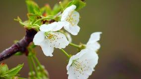 Cherry Flower In Bloom stock video