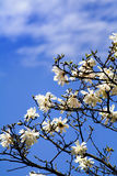 Cherry flower bloom Stock Images