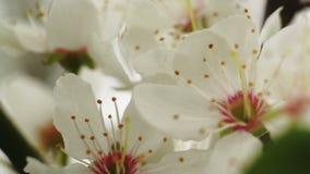 Cherry Flower Blooming - Makro stock footage