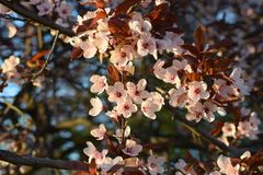 Cherry flower blooming in spring royalty free stock photography
