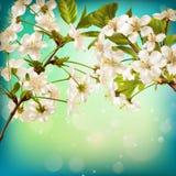 Cherry flower blossom on blue background. EPS 10 Stock Image