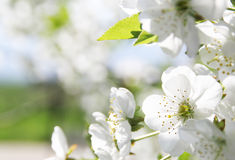 Cherry flower. Cherry blossom flower isolated, sample your text Royalty Free Stock Photos