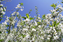 Cherry flower. Cherry blossom flower isolated, sample your text Royalty Free Stock Image