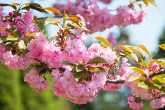 Cherry flower, blossom at spring Royalty Free Stock Photos