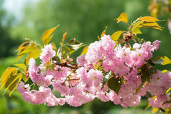 Cherry flower, blossom at spring Stock Images