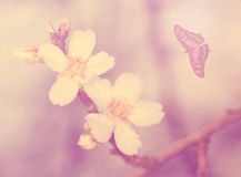 Cherry flower blossom, vintage view Royalty Free Stock Photos