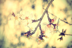 Cherry flower blossom, vintage view Stock Photo
