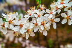Cherry flower in blossom Stock Photography