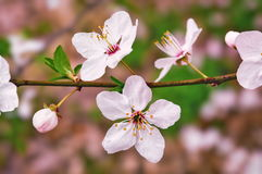 Cherry flower in blossom Stock Photos