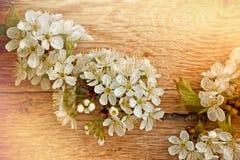 Cherry flower Stock Photos