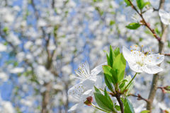 Cherry flower. Blossoming in spring Stock Photo