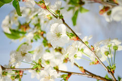 Cherry flower. Blossoming in spring Stock Photos