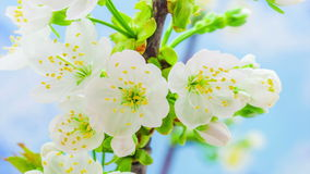 Cherry Flower Blossoming Time Lapse stock video footage