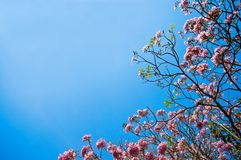 Cherry flower on blue sky. Background Royalty Free Stock Photo