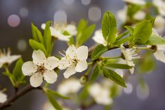 Cherry flower on branch in the Spring Stock Photos
