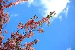 Cherry Flower Branches arkivfoton