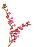 Cherry flower buds. Stock Images