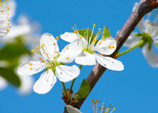 Cherry flower closeup Royalty Free Stock Image