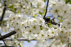 Cherry flower Stock Photography