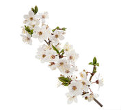 Cherry flower isolated on white background Royalty Free Stock Image