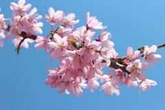 Cherry flower landscape Stock Photo