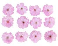 Cherry flower set Royalty Free Stock Photography