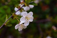 Cherry. Flower cherry spring stamen sprig Stock Photo