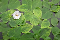 Cherry flower in the water among the green leaves Royalty Free Stock Photography