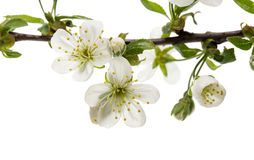 Cherry flower Royalty Free Stock Images