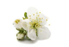cherry flower Stock Photography