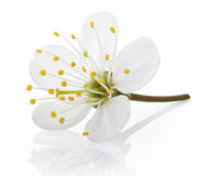 Cherry flower on white. Single cherry flower isolated on white background with clipping path Royalty Free Stock Photo