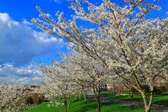 Cherry Flowering Trees branco fotografia de stock