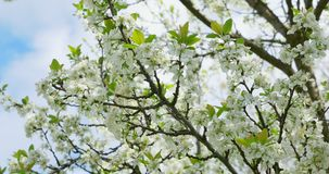 Cherry flowering. White blossoms on tree. Spring nature stock footage