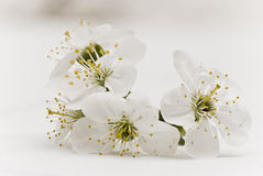 Cherry flowers Royalty Free Stock Image