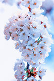 Cherry Flowers. A closeup view of white cherry flowers Stock Photos