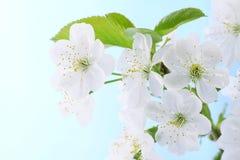 Cherry flowers Stock Photos