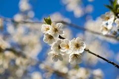 Cherry flowers Royalty Free Stock Photos