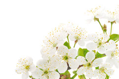 Cherry Flowers Royalty Free Stock Photo