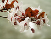 Cherry Flowers. And water in spring Royalty Free Stock Images