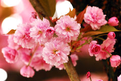 Cherry Flowers Stock Image