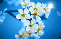 Cherry flowers Royalty Free Stock Photography