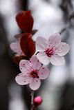 Cherry flowers. Macro in early spring stock photography