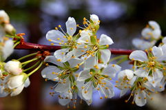 Cherry flowers. Japanese cherry flowers in the pacific northwest Stock Photography