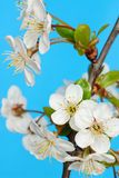 Cherry Flowers Stock Images