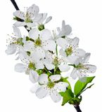 Cherry Flowers Stock Photography
