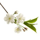 Cherry flowers. Blossoming cherry branch with white flowers. Realistic vector illustration royalty free illustration