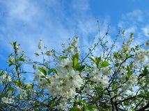 Cherry flowers. Cherry tree in blossom royalty free stock photo