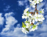 Cherry flowers. And blue sky with clouds Stock Images