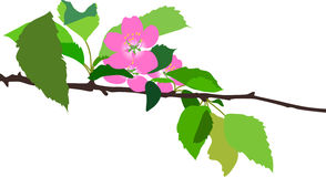 Cherry flowers. Blossom cherry branch with green leaves Royalty Free Stock Image